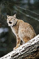 The European Lynx (Felis lynx) is to be heard mostly only during the mating season  -  European Lynx at snowfall on fallen tree