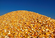 Agriculture - Closeup of a pile of freshly harvested grain corn / Iowa, USA