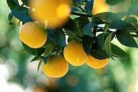 Mallorca, Lloret de Vistalegre, orange fruits.