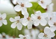 Apple blossom on tree, close up