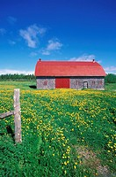 red roofed barn and dandelions, Gaspe Peninsula, Quebec, Canada