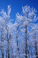 Hoarfrost on tree, Riding Mountain National Park, Manitoba, Canada
