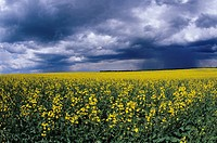 Canola and storm clouds near Oakville, Manitoba, Canada