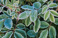 Rose leaves in mid summer frost, valemount, british columbia, Canada