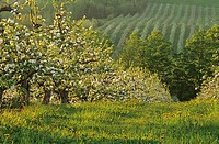 Apple Orchard, Blossom, Medford, Annapolis Valley, Nova Scotia, Canada