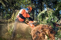 A trail crew for the Quu´as West Coast Trail group works to clear the West Coast Trail from trees that fell in the storms of December 2006  Pacific Ri...