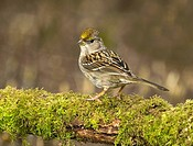 Golden crowned Sparrow, Canada