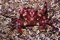 Crab (Liocarcinus corrugatus). Galicia, Spain