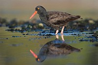 Black Oystercatcher hunting in shallow water, British Columbia, Canada