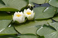 Water Lillies Nymphaeaceae in a pond near False Creek, Vancouver, British Columbia, Canada
