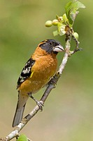 Black-headed Grosbeak Pheucticus melanocephalus, British Columbia, Canada