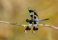 Twelve spotted Skimmer Libellula pulchella, British Columbia, Canada
