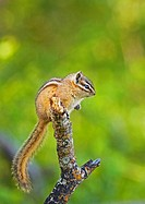 Yellow-pine Chipmunk Eutamias amoenus Adult  In open forests where the sun casts sharp shadows the well-defined stripes of this chipmunk afford protec...
