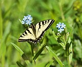 Tiger Swallowtail Pterourus glaucus Butterfly Adult  This species is the most widely distributed tiger swallowtail  Feeding in groups adults take nect...