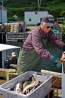 Weighing a fresh catch of Cod Fish and flounder in the harbour at Trout River, Gros Morne National Park, UNESCO World Heritage Site, Viking Trail, Gre...