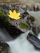 Maple leaf on a rock in a stream near Kamloops, British Columbia Canada