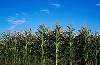 corn field on saanich peninsula, Vancouver Island, British Columbia, Canada