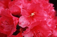 Crab spider on azalea blossom, British Columbia, Canada