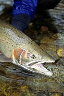 Steelhead, Glendale river, Knight Inlet, British Columbia, Canada