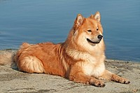 Eurasier - lying at the shore