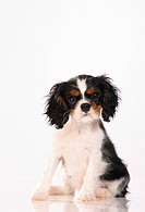 Cavalier King Charles Spaniel - puppy - cut out