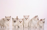 six Sacred cat of Burma kittens