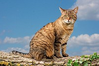 tabby domestic cat - sitting on branch