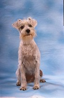 Miniature Schnauzer - sitting frontal
