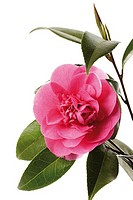 Camellia Camellia japonica, close-up