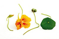 Nasturtium Tropaeolum majus, close-up