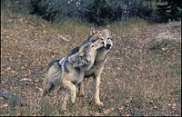 Gray Wolves, Yearling Begs for Food from Adult Male, Autumn, Rockies