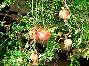 Pomegranate tree, São Paulo, Brazil