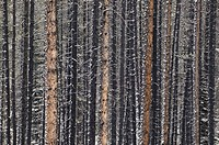Lodgepole Pine trunks, Maligne River Valley, Jasper National Park, Alberta Canada
