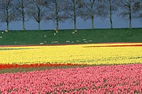 Fields of Planted Tulips and Sheep