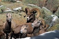 Bighorn Sheep Ovis Canadensis, Rocky Mountain National Park, Colorado