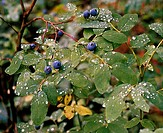 Mountain Huckleberries, Oregon