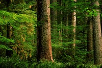 Grove Of Redwood Trees