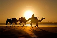 Camels on the beach of Essaouira. Morocco