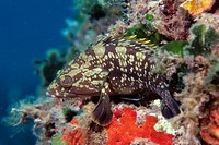 Dusky Perch (Epinephelus guaza). Mediterranean Sea
