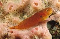 Montagu´s Snailfish (Liparis montagui). Galicia, Spain