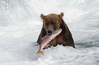 Brown Bear with a fresh catch of salmon in Katmai National Park in Alaska, USA
