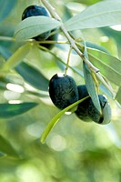 Olives on Tree, Kalamata, Greece