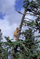 Bobcat in tree  Summer  Rocky Mountains  Felis rufus