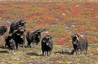 Muskoxen on arctic tundra  Northwest Territories, Canada  Autumn  Ovibos moschatus