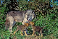Gray Wolf female with pups outside den  Rocky Mountains  Spring  Canis lupus