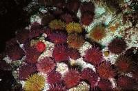 Sea Urchin (Paracentrotus lividus). Galicia, Spain