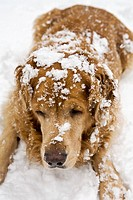Dog resting on snow-covered ground, close-up