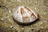 Venus clam (Venerupis rhomboideus). Ria of Vigo, Pontevedra province, Galicia, Spain
