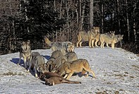 Gray Wolves & white-tailed deer Predator,Prey Boreal Forest Canada Canis lupus