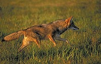 Coyote at dusk Minnesota Autumn Canis latrans